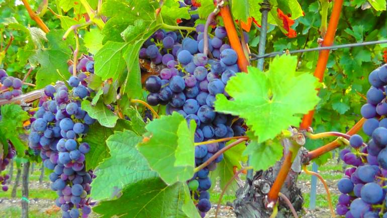Близо 1000 делегати от цял свят се очакват за Световния конгрес по лозарство и винарство